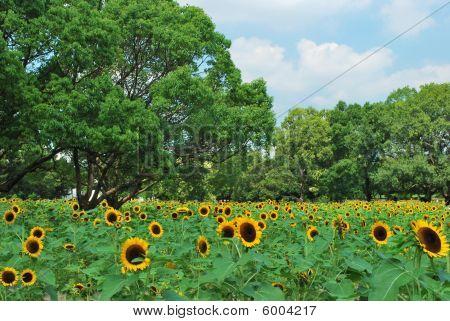A Huge Field Of Sunflowers In Full Bloom.