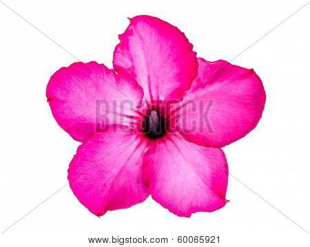 Single azalea flowers isolated on white background poster