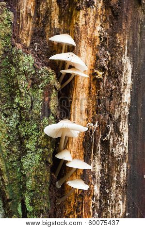 Group Of White Mushrooms Growing On A Tree Trunck In The Forest