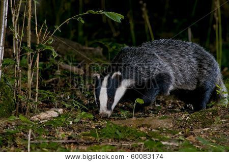 Badger, Meles Meles