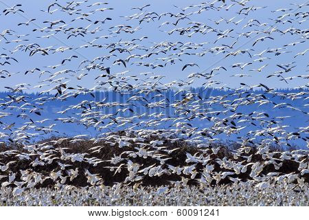 Lift Off Hundreds Of Snow Geese Taking Off Flying