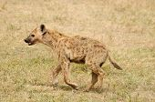 Wildlife Hyaena on the safari in Africa poster