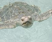 White turtle sticking head out of water. poster