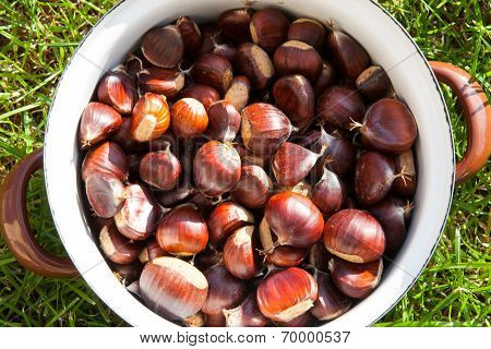 Pot Of Chestnut