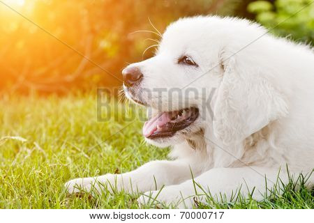 Cute white puppy dog lying on grass. Polish Tatra Sheepdog, known also as Podhalan or Owczarek Podhalanski