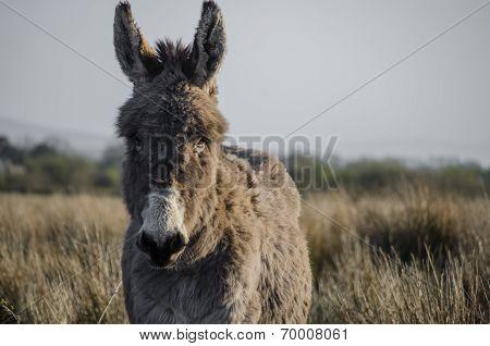 donkey in ireland