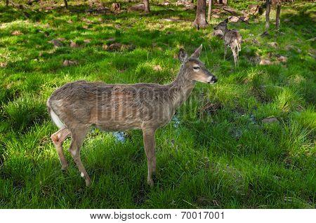 Pair Of White-tailed Deer (odocoileus Virginianus) Stand