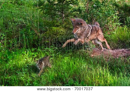 Coyote (canis Latrans) Pounces After Pup - Pup In Motion