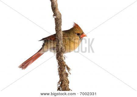 Female Cardinal Rests On A Shreaded Vine