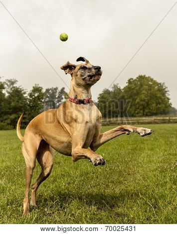 Great Dane flailing legs trying to catch ball