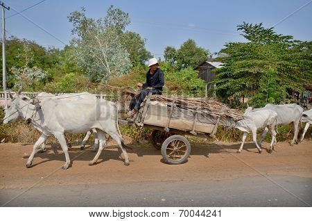 Cows pulling a cart