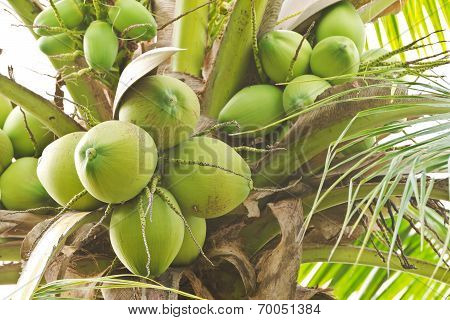 Close up bunch of fresh coconut on palm tree poster