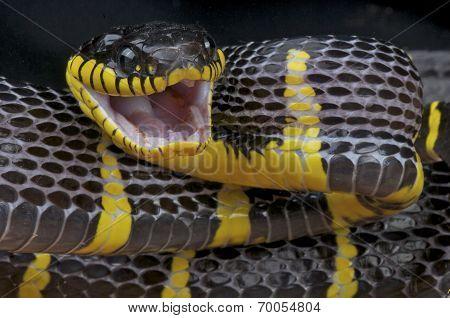 Mangrove snake / Boiga dendrophila