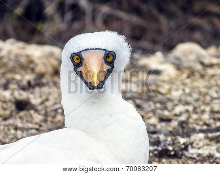 Close Up Of  Masked Boobie At Galapagos Island Of North Seymour