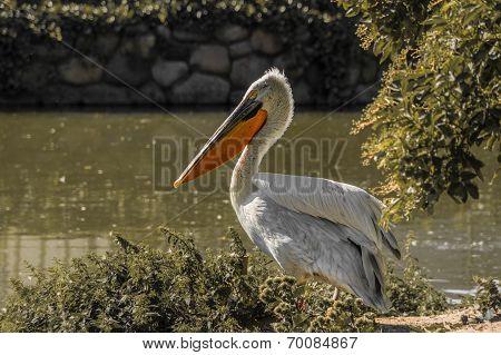 Guarding pelican