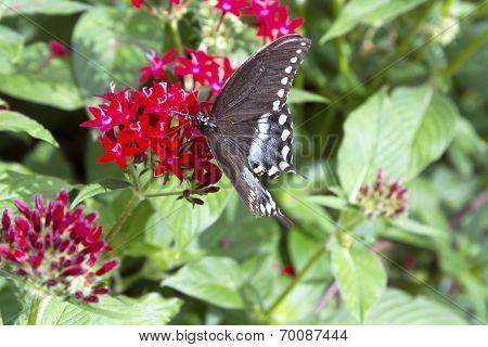 Black Butterfly Feeding On Red Flower