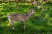 Pair of White-Tailed Deer (Odocoileus virginianus) Stand - captive animals poster