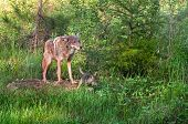 Coyote (Canis latrans) Stands at Den - Pup Runs Right - captive animal poster