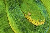 The emerald tree boa is a large nonvenomous, camouflaged, ambush predator found in Brazil and surrounding countries. poster