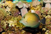 """Sopas Tang """"Yellow"""" in Aquarium against Coral Reef Background poster"""