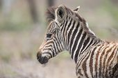 Young fluffy baby zebra foal portrait standing alone in nature poster