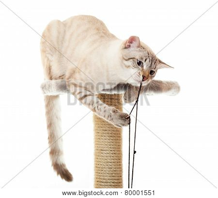 Cat playing with a rope.
