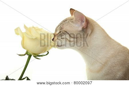 Cat sniffing rose.