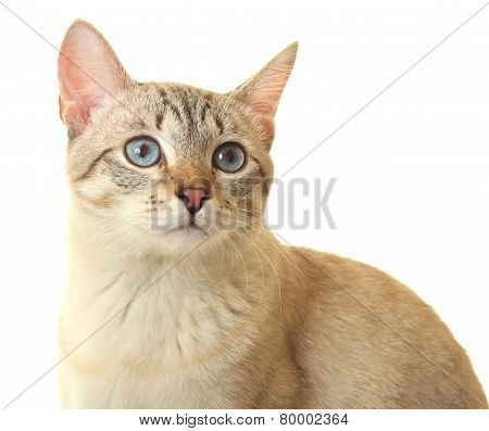 Thai cat with blue eyes.