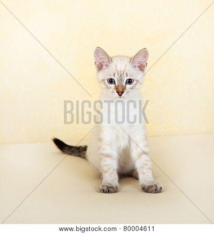 Thai kitten.