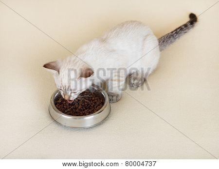 Kitten is eating dry food.