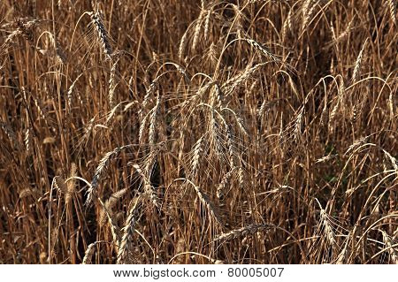 Wheat of hard sorts.