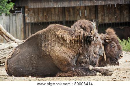 American Bisons Resting