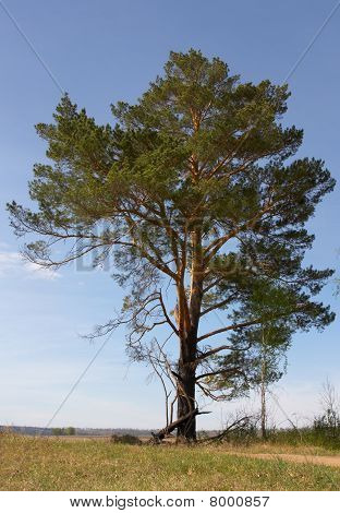 relict pine growing on the field near Iya river poster