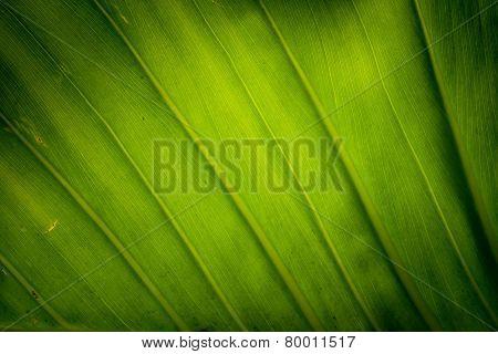 Texture Background Of Blacklight Fresh Green Leaf.