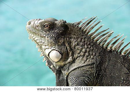 Iguana With Ocean Background.