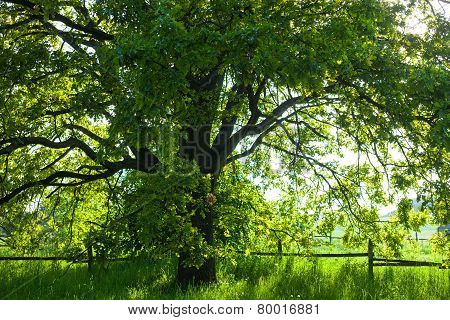 The Old Oak Tree In Bright Summer Day