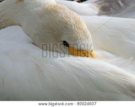 Swan resting
