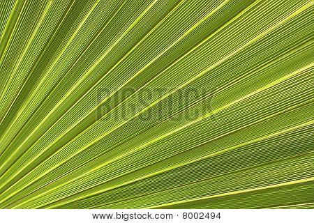 Palm Leaf Close-up