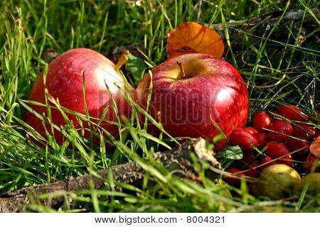 Red Apples And Briers