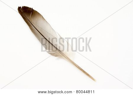 Isolated Bird feather