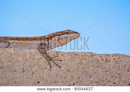 Desert lizard - gecko on the wall