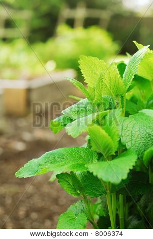Lemon Balm Plant in Garden