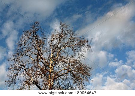 Bare Tree and Cloudy Sky