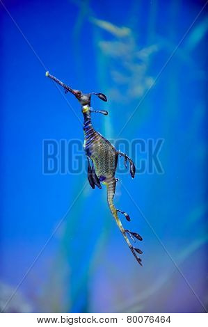 underwater image of sea dragon
