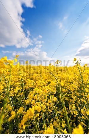 Field Of Yellow Rapeseed Oil