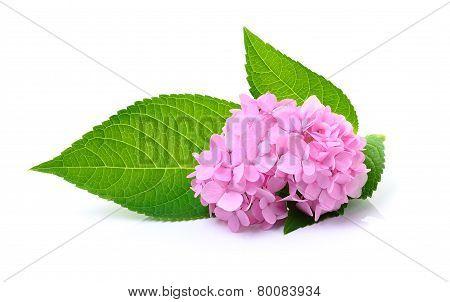 Hydrangea Flower On White Background