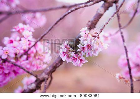 Himalayan Cherry (prunus Cerasoides) Blooming At Pang Khon    Mountain Chiang Rai, Thailand