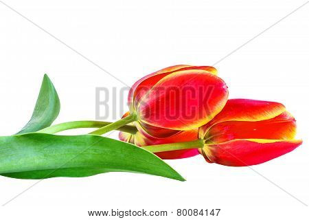 Red Tulips Isolated On White Background, Close-up