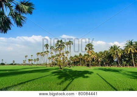Land Scape View Of Toddy Palm And Ricefield