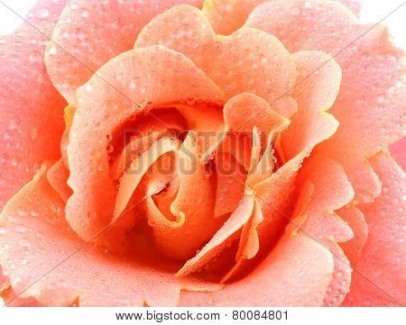 Beautiful orange rose close-up